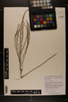Iva microcephala image