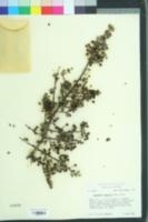 Image of Ceanothus cuneatus