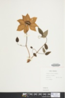 Image of Clematis florida