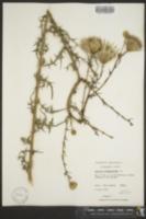 Image of Carduus virginianus
