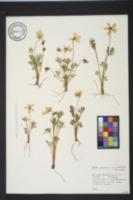 Viola pedata var. pedata image