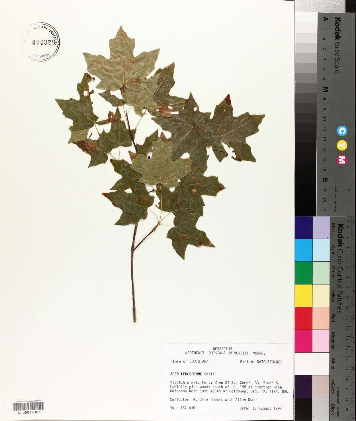 Aceraceae image