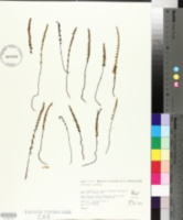 Image of Lindsaea linearis
