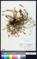 Thymus praecox image