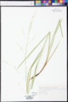 Glyceria septentrionalis image