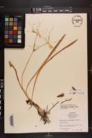 Hymenocallis pygmaea image