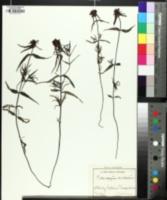 Melampyrum cristatum image