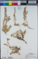 Artemisia arbuscula subsp. arbuscula image