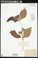 Alternanthera brasiliana image