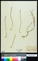 Lepismium lumbricoides image