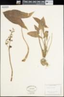 Sagittaria variabilis image