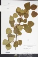 Populus x smithii image