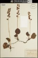 Pyrola californica image