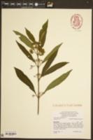 Image of Callicarpa kwangtungensis
