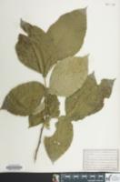 Image of Ulmus elliptica