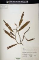 Image of Microgramma lindbergii
