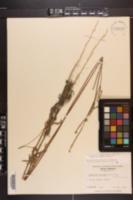 Froelichia floridana var. campestris image