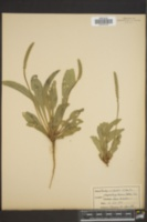 Image of Plantago occidentalis
