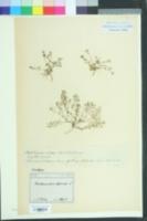 Image of Hornungia petraea