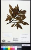 Image of Nectandra membranacea