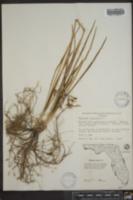 Tulbaghia violacea image