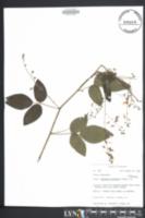 Image of Desmodium glabellum