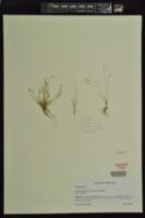 Image of Isolepis molesta