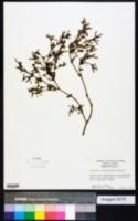 Image of Sesuvium trianthemoides
