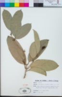 Image of Chionanthus vitiensis