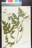 Image of Solanum pyracanthum