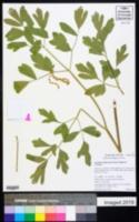 Lomatium californicum image