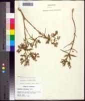 Image of Euphorbia floridana