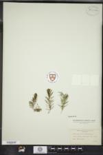 Ceratophyllum demersum image