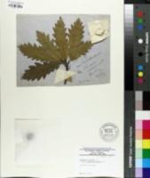 Quercus cerris image