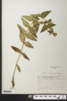 Gentianella quinquefolia image
