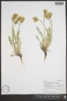 Oxytropis campestris var. cusickii image