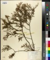 Image of Juniperus lucayana