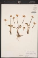 Ranunculus andersonii image