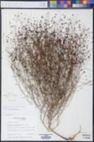 Agalinis divaricata image
