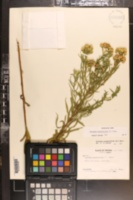 Image of Euthamia weakleyi