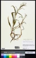Paspalum fluitans image
