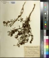 Image of Solanum salicifolium