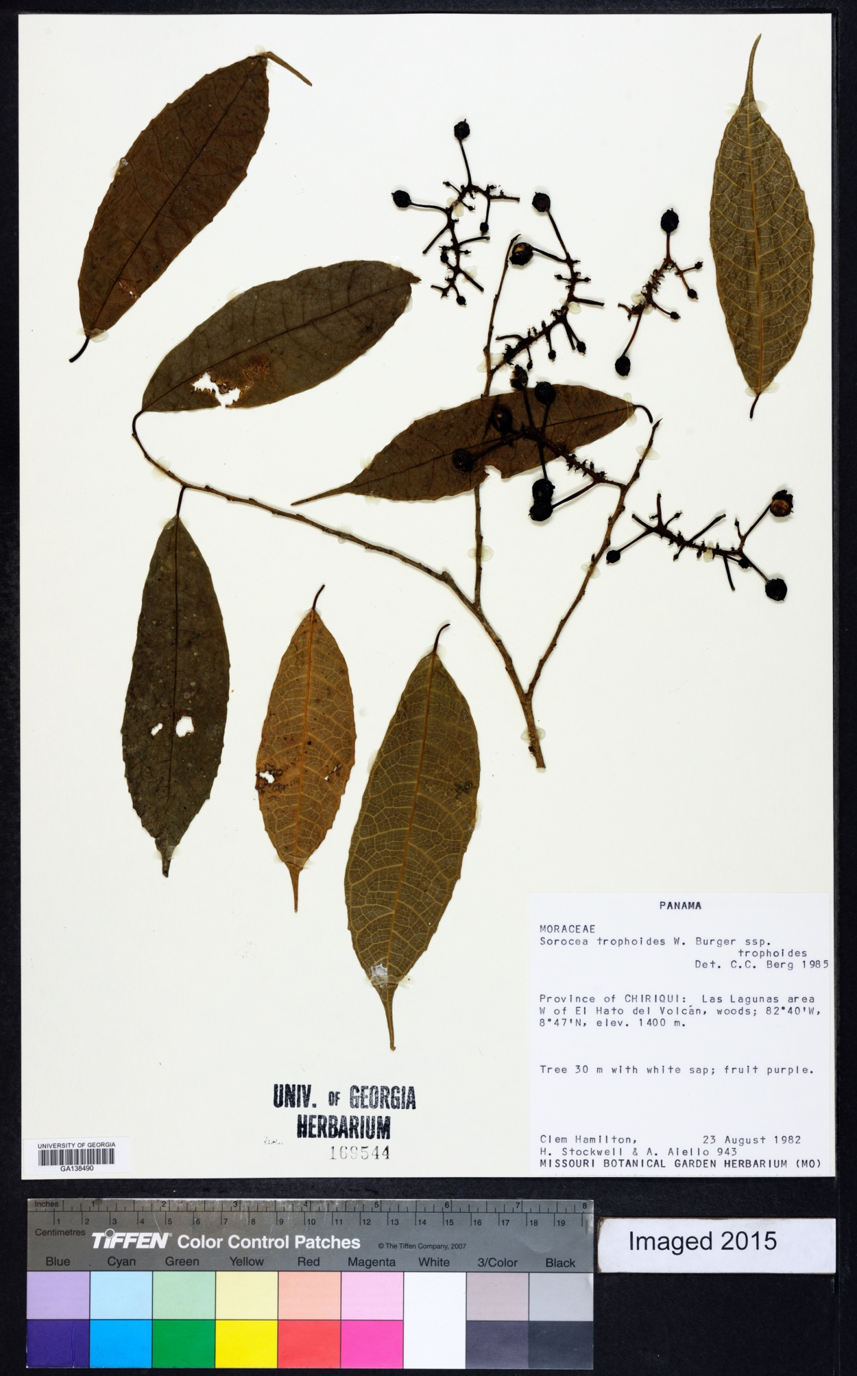 Sorocea trophoides image
