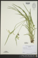 Carex prasina image