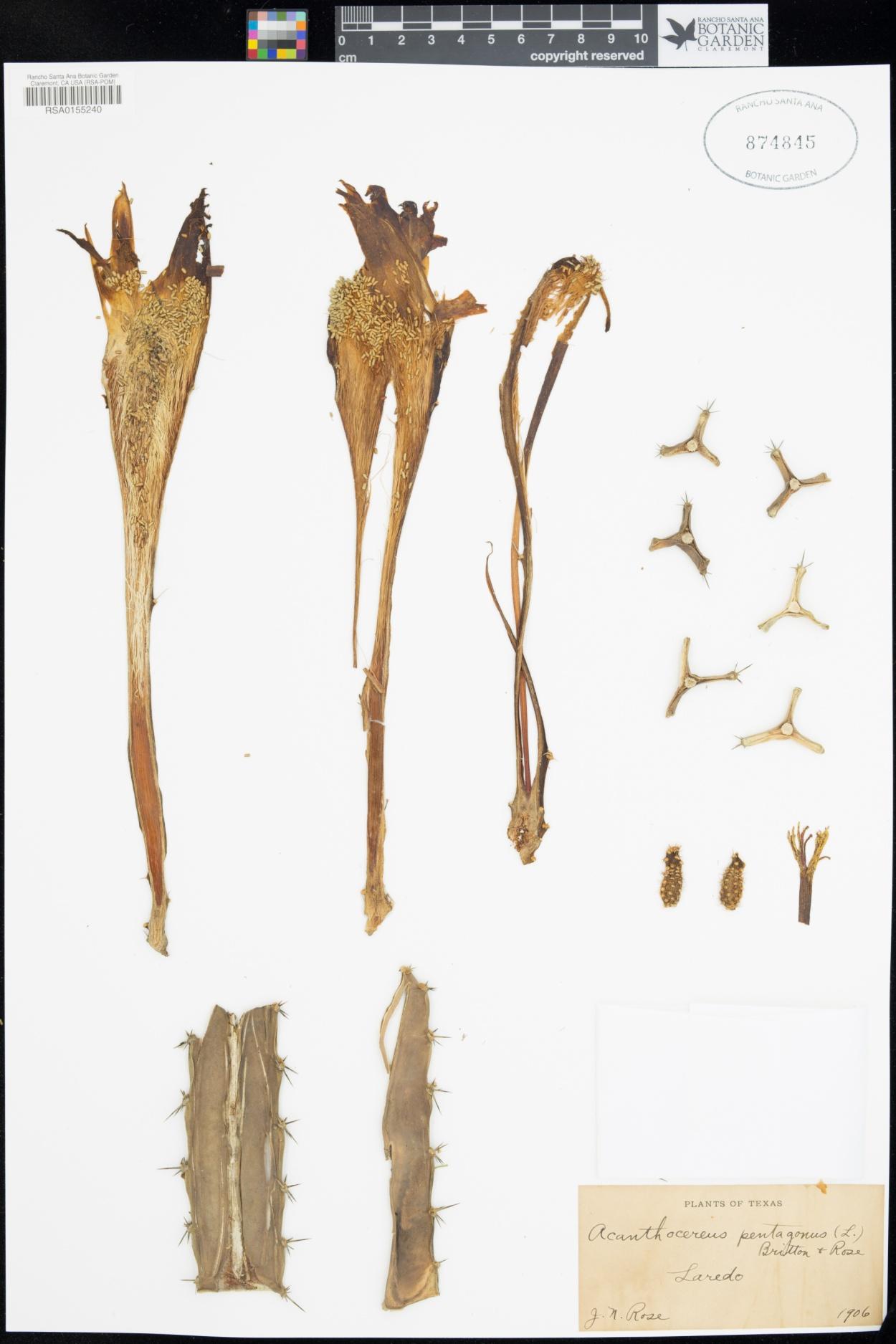 Acanthocereus pentagonus image
