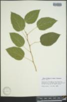Morus alba image