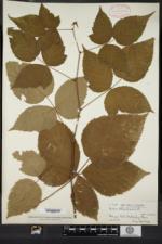 Rubus frondosus image