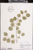 Prunus mahaleb image
