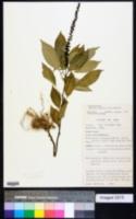 Hilleria latifolia image