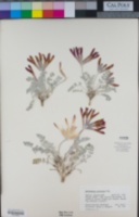 Astragalus coccineus image